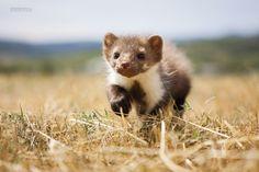#eriktibensky #erik #tibensky #eu #photography #foto #animal #nature #kuna #slowakia #marten #fotograf Ferret, Animals, Animales, Animaux, Ferrets, Animal, Animais, European Polecat
