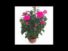Consejos de cuidado para el rosal mini #consejoscuidado #rosalmini