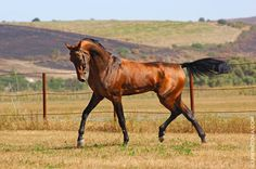 Akhal-Teke evolved about 3000yrs ago in southern Turkmenistan where they are the national emblem. They are named after a nomadic tribe.