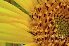 Sunflower Triptych 3