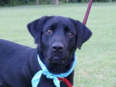 Sid is an adoptable Labrador Retriever Dog in Indianapolis, IN. Meet Sid – a very handsome 1-2 year old black lab (with a classic lab physique) who came to LOLIN from Kentucky. Sid is well-adjusted so...