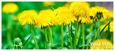 Dandelions are a widely-distributed perennial weed recognizable by their bright yellow flowers and later puffy white stage. Find out how to control them with these tips from Weed Man Lawn Care. Lawn Care Tips, Green Lawn, Dandelions, Yellow Flowers, Curb Appeal, Perennials, Weed, Seasons, Spring