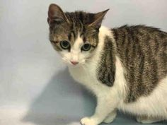 MIMI - A1085981 - - Brooklyn  ***TO BE DESTROYED 09/06/16***MARVELOUS MIMI is a gray and white cutie! MIMI has been a friendly stray neighborhood cat for years. She got pregnant and the finder brought her in, where her babies were aborted and she was spayed. This SWEET GIRL is around 4 years old! MIMI is VERY FRIENDLY and was a neighborhood cat pal who was fed by her human friends. Now she's alone in the shelter, hoping she can quickly find a human friend who can save her