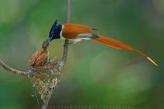 https://flic.kr/p/HTcwov   Paradise flycatcher   Kallar Kahar, Pakistan.