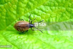 Lagria hirta beetle, Wales, UK. © Keith Burdett / age fotostock - Stock Photos, Videos and Vectors
