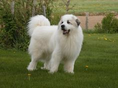 GREAT PRYNESS DOG PHOTO | great-Pyrenees sheep dog - Lahore - Animals - 54000 - pyrenees dog ...