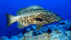 Resultado de imagem para mero peixe Merida, Fish, Animals, Pisces, Animales, Animaux, Animal, Animais