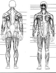 Diagram Of The Human Body Diagram Of Body Liver Wiring Diagram Srconds. Diagram Of The Human Body Organ Anatomy Wikipedia. Diagram Of The Human Body Wall Chart Human Body. Diagram Of The Human Body Human Body Anatomy Diagram Organs… Continue Reading → Skeletal Muscle Anatomy, Human Muscle Anatomy, Human Anatomy And Physiology, Anatomy Organs, Muscular System Labeled, Skeletal And Muscular System, Leg Muscles Diagram, Muscle Diagram, Human Body Diagram