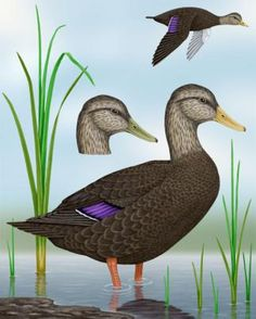 American Black Duck - Whatbird.com