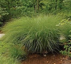 Botanical name: Miscanthus sinensis 'Gracillimus' Common name: Gracillimus maiden grass USDA zones: 5 to 9 Water requirement: Average to low...