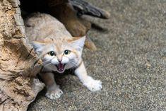 Felis Margarita, Sand Cat, Cats, Animals, Gatos, Animales, Animaux, Animal, Cat