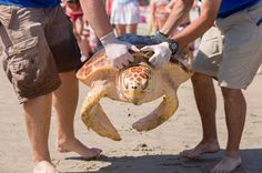 Rescued sea turtles return to the ocean – in pictures http://trib.al/qUhrB4f