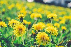 A sokoldalú pitypang, avagy gyermekláncfű - Használjuk a konyhában is Dandelion, Bucky, Flowers, Plants, Dandelions, Plant, Taraxacum Officinale, Royal Icing Flowers, Flower