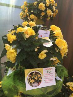 Nonstop Begonia Joy Yellow