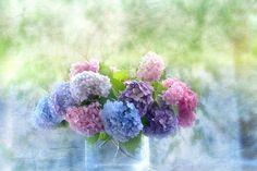beautiful hydrangea- My absolute favorite flower!