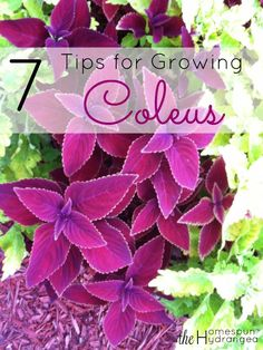 Give these 7 tips on how to grow coleus a try, so you can enjoy this easy to grow and colorful plant all season long.