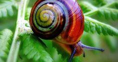 El caracol arcoiris Polymita picta Este animal está considerado el caracol terrestre más bello del mundo por el colorido de sus conchas. La especie Polymita picta es endémica de Cuba; y es el símbolo natural y cultural de una de sus ciudades Baracoa. Viv