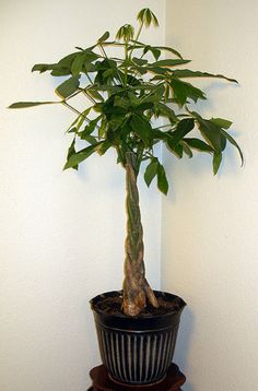 Caring for a Braided Money Tree Plant [Garden Guides]