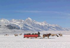 Take a sleigh ride out amongst the Elk and the National Elk Refuge