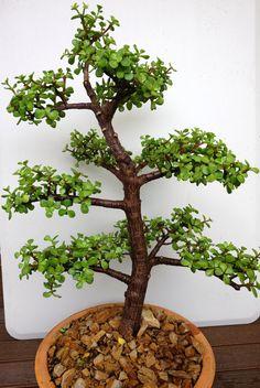 Portulacaria afra bonsai - (view no. Bonsai Tree Care, Bonsai Tree Types, Bonsai Art, Bonsai Plants, Bonsai Garden, Garden Trees, Herb Garden, Indoor Garden, Succulent Bonsai