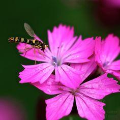 Schwebfliege auf Nelken 54-3036 #Tiere #Insekten #Blüten