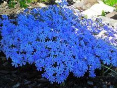 Schon Wir Schlagen Ihnen Zehn Fantastische Blau Blühende Bodendecker Pflanzen  Vor, Die Einen Wunderschönen Blauen Teppich Im Beet Bilden Können.  Bodendecker Sind