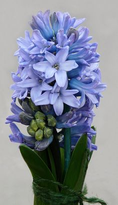 Blue Hyacinth... The scent of hyacinth and daffodils are 2 of my most treasured memories ...sublime