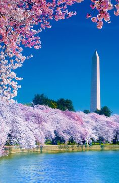 Japanese cherry blossoms at Tidal Basin, Washington, D.C.