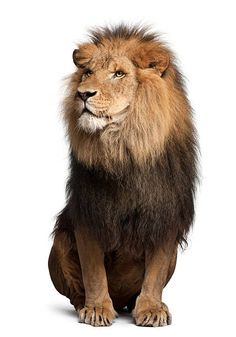 Image result for lion sitting down