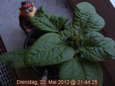 Den heißesten Tag des Jahres hat die Webcam-Sonnenblume natürlich besonders genossen.