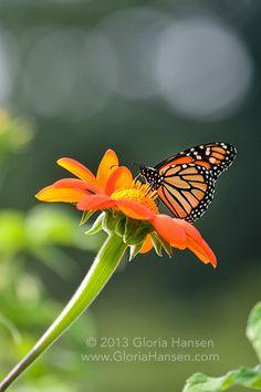 Monarch by Gloria Hansen 2013