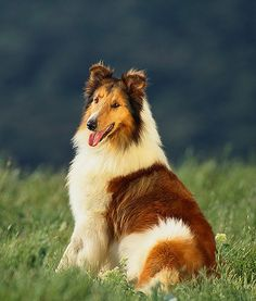 Falling in love with the collie breed...maybe one day I will have one as a fur baby. :)