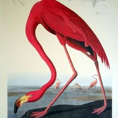 Greater Flamingo, Phownicopterus Ruber from the Natural History Museum collection. Plate CCCCXXXI from Audubon's 'Birds of America', Century coloured engraving Panneau Mural 3d, Audubon Prints, American Animals, Birds Of America, John James Audubon, Flamingo Print, Pink Flamingos, History Museum, Custom Art