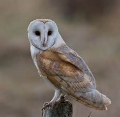 barn owl - Bing images