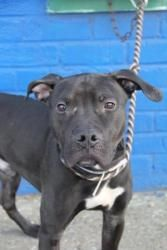 MARK is an adoptable Pit Bull Terrier Dog in Brooklyn, NY. A Volunteer writes: Mark is a joyful dog. I have had the pleasure of getting to know Mark this past week and enjoyed walks and playtime with ...