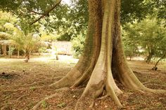 Silk Cotton Tree in Bequia