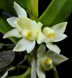 1000 Images About Orchids On Pinterest Orchid Flowers