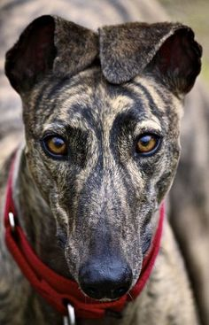 ~ OHHH those ears ~ OHHH that face! Rescue and Adopt A Greyhound! ~~~~~Wonderful dogs, real couch potatoes, love them I Love Dogs, Cute Dogs, Magyar Agar, Greyhound Pictures, Beautiful Dogs, Gorgeous Eyes, Stunningly Beautiful, Dogs And Puppies, Doggies