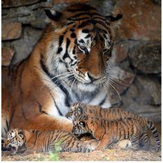siberian tiger | Three newly-born Siberian tigers crawl near their mother.