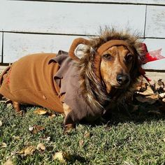 Bogey the dachshund as the Cowardly Lion from The Wizard of Oz