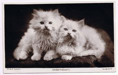 Sweetheart Kittens - Purrfect Pair - Persian Pussy Cats-  VTG Wildt + Kray (W & K) London real photo postcard circa 1907