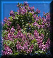 lilac tree...i miss seeing these trees