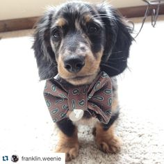 Franklin likes his bow ties BIG....unlike him. #dogsofinstagram #thRUFFtyPup #etsy #etsyshop #Repost @franklin.weenie with @repostapp. ・・・ It's always a good day when a package from @thruffty_pup arrives in the mail! ✉️
