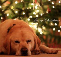 Merry Christmas From Nala