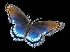 Apaixonados por gifs: Gifs de lindas borboletas azuis! Borboleta azul gif - Butterfly gifs!