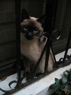 Kitty patitas suaves :D Kitty Softpaws  #Guatemala #siamese #cat #siames #gato #gatita #gataloca #crazycat #blueyes