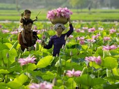 Gathering Lotus - DONG THAP MUOI - South Vietnam http://viaggi.asiatica.com/