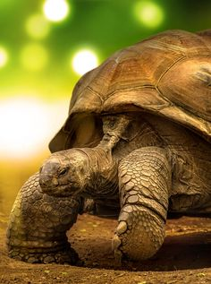 Galapagos Tortoise by Geo Messmer