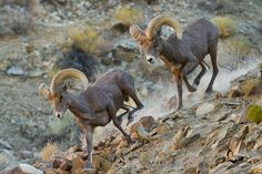Desert Bighorn Sheep | Nevada Desert Bighorn sheep rams by eaross on deviantART