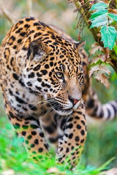 Napo walking in the vegetation by Tambako the Jaguar on Flickr.